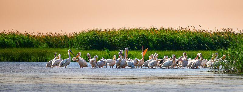 Пелікани недалеко від «нульового» кілометра річки Дунай, район Вилкове, Одеська область © Q-lieb-in, CC-BY-SA 4.0