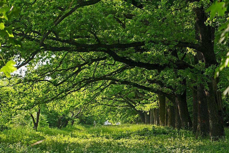 Зелений тунель в парку біля Обласної психоневрологічної лікарні. Автор: Posterrr, CC-BY-SA-4.0
