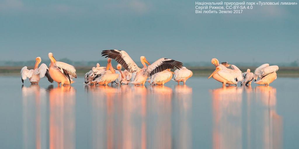 Ранкові процедури пеліканів, Національний природний парк «Тузловські лимани». Сергій Рижков, CC-BY-SA 4.0